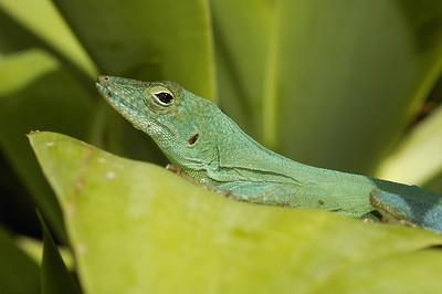 Bermude: lesard [Jamaican Anole (Anolis grahami)] se chauffant au soleil par une journée d'hiver. / Bermuda: lizard [Jamaican Anole (Anolis grahami)] warming himself on a sunny winther day.