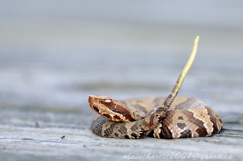 Easterns Cottonmouth