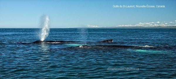 Baleines nageant
