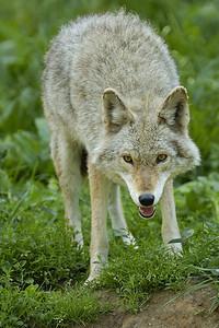 Coyote, Parc Omega, Montebello, Qc, Canada