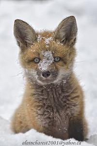 Tenue d'hiver du renardeau