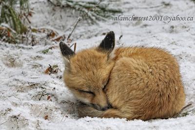 Petite sieste du renardeau