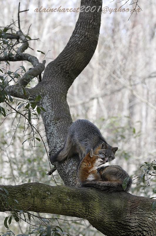 The foxy kiss