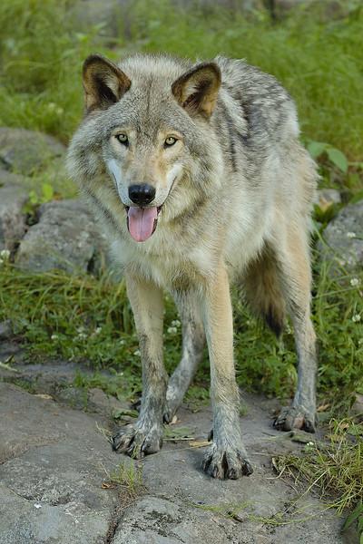 Loup gris au Parc Omega, Montebello, Qc., Canada / Grey wolf at Parc Omega, Montebello, Qc., Canada