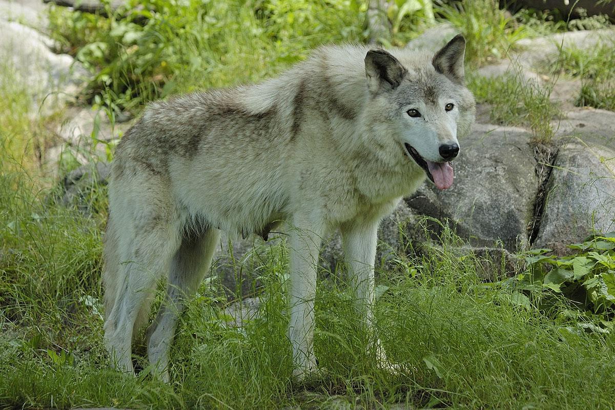 Femelle Loup gris au Parc Omega, Montebello, Qc., Canada / Female Grey wolf at Parc Omega, Montebello, Qc., Canada