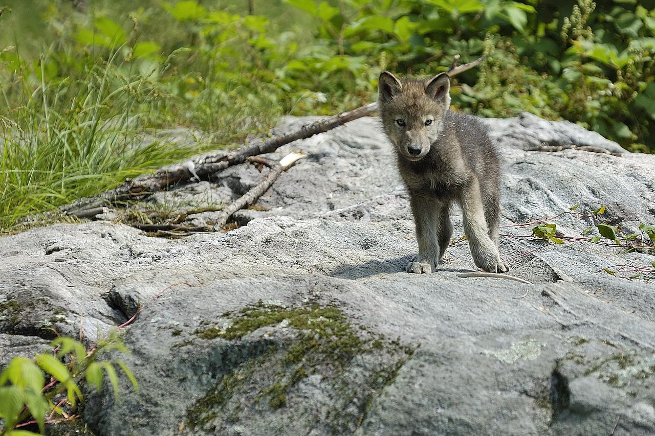 Parc_Omega, Montebello, Qc, Canada: un jeune louveteau s'amusant avec une branche sur ce rocher / A wolf cub playing with a small branch on a rock.