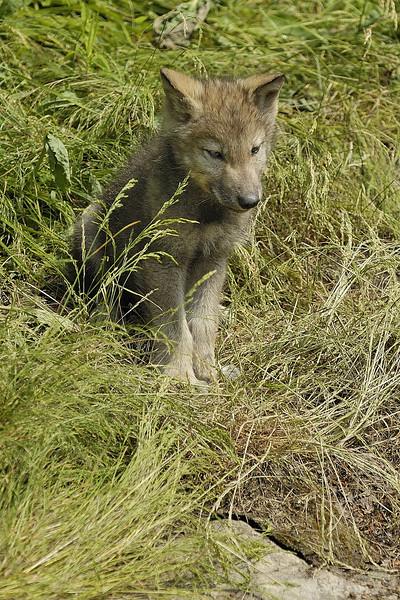 Wolfs / Loups
