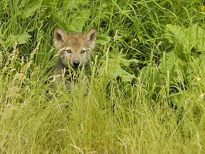 Jeune louveteau Loup gris au Parc Omega, Montebello, Qc., Canada / Youth Grey wolf at Parc Omega, Montebello, Qc., Canada