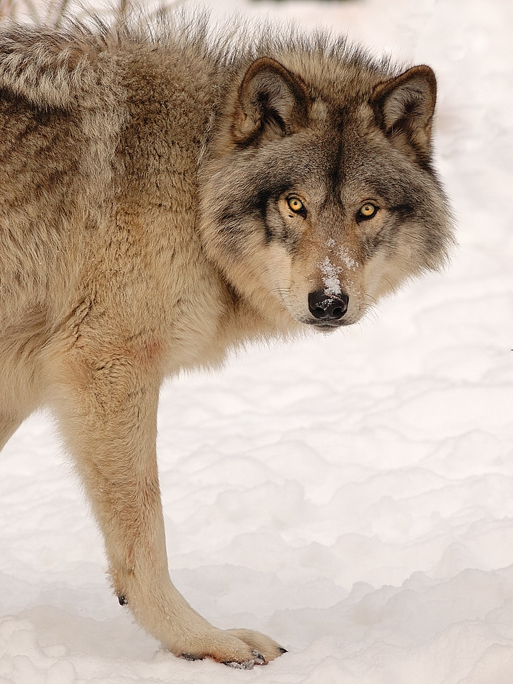 Parc Omega, Montebello, Qc, Canada; Timberwolf or Timber Wolf ( Canis lupus ) / Loup gris ( ( Canis lupus ).