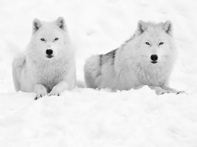 Parc Omega, Montebello, Qc, Canada; Arctic Wolves ( Canis lupus arctos ) / Loup arctique