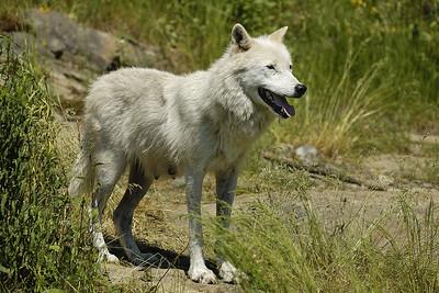 Loup arctique (Canis lupus arctos) au Parc Omega, Montebello, Qc., Canada / Arctic wolf (Canis lupus arctos) at Parc Omega, Montebello, Qc., Canada