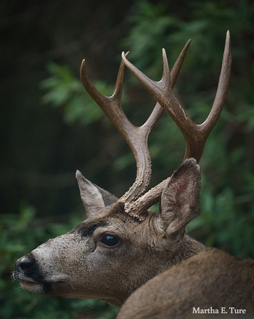 Coastal Blacktail Buck