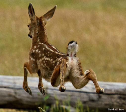 Bounding fawn