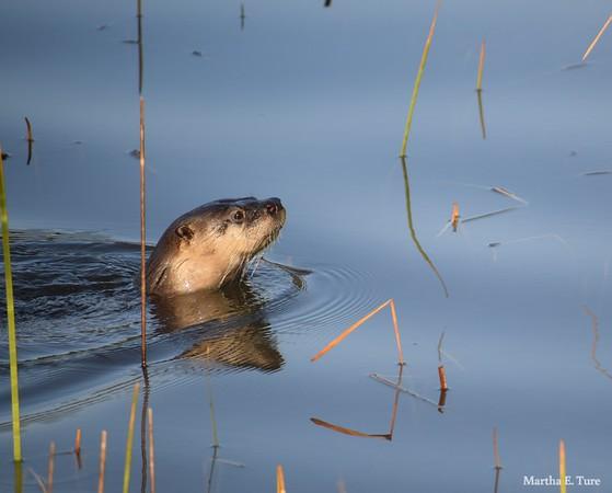 River Otter, Lake Bon Tempe