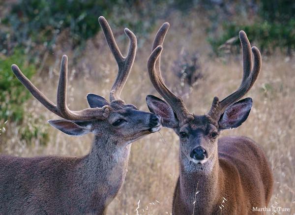 Buck Grooming