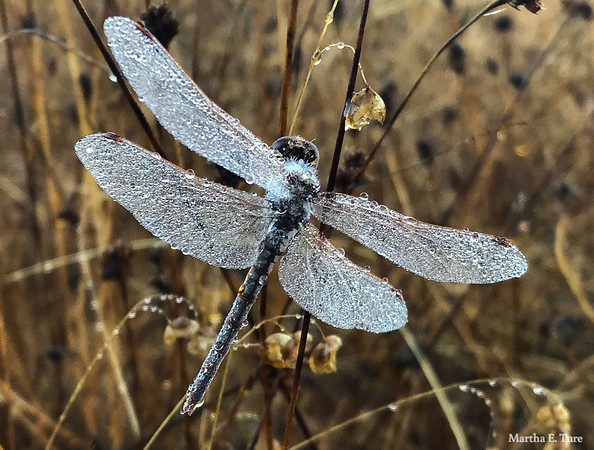 Dragonfly Bejeweled By Dew