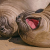 Elephant Seal Pups, Pt. Reyes National Seashore