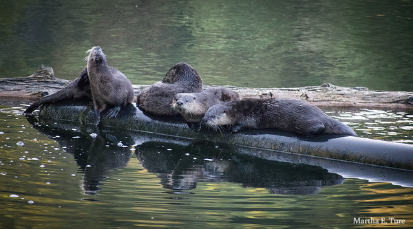 Otter family