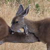 Coastal Blacktail Does, Mutual Grooming