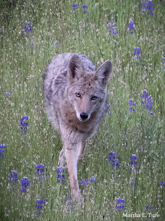 Coyote Approaches in the Lupines