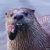 River Otter With Trout