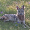 Coyote resting in the lupines
