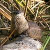 River Otter Observing Photographer