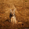 Coyote observing photographer