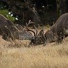 Coastal blacktail bucks sparring