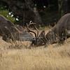 Coastal blacktail bucks sparring