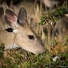 Yearling blacktailed deer, male - Spike