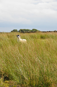 sheep in grass.jpg