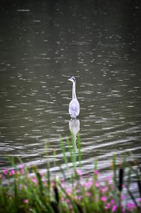 bird in lake.jpg