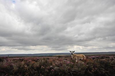 sheep in heather.jpg