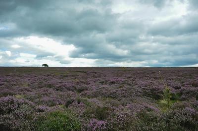 big sky, big heather, little tree.jpg