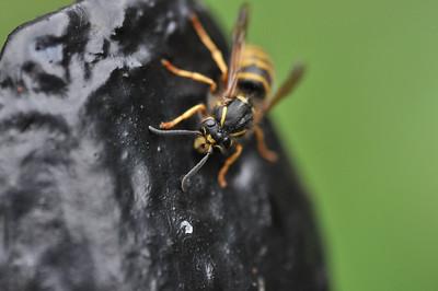 wasp on rock.jpg