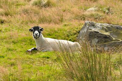 sheep & rock