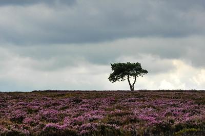 tree in heather.jpg