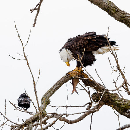 Mississippi River Birds (14Jan2018)