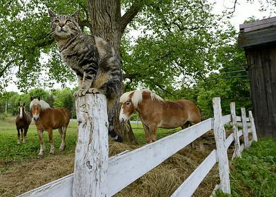 Cicero Horses