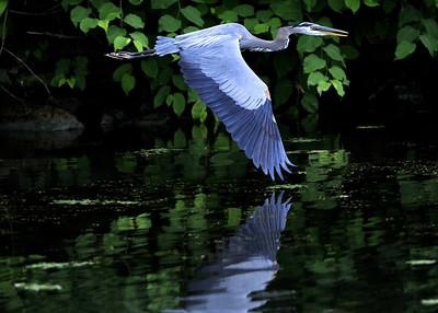 Seneca River Blue Heron