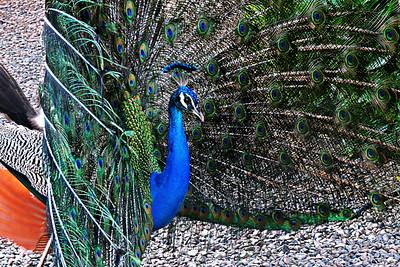 Indian Peafowl - male displaying