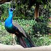 Indian Peafowl - male
