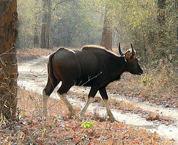 Gaur/Indian bison bull (Bos gaurus)