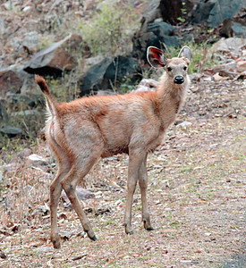 Sambar (Rusa unicolor) fawn