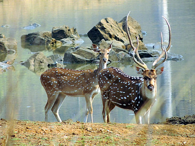 Spotted deer/chital (Axis axis), stag and doe