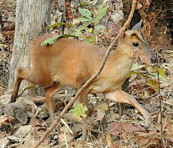 Munjac/barking deer doe (Muntiacus muntjak)