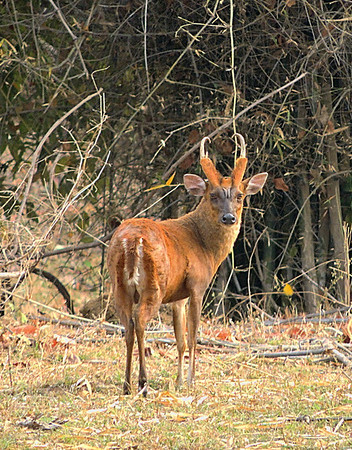 Munjac/barking deer buck (Muntiacus muntjak)