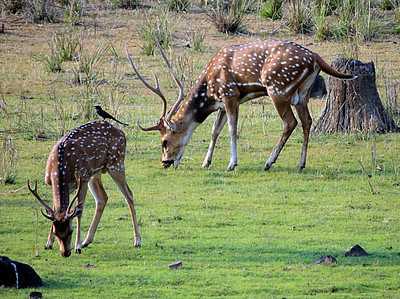 Spotted deer/chital (Axis axis), bucks. The bird is a drongo.
