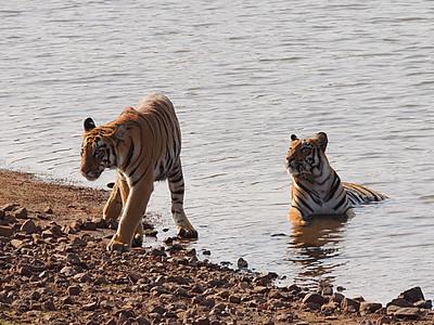 Bengal tiger, Panthera tigris tigris, Tadoba, Maharashtra, India, female, adolescent, cub, bathing, social, interaction
